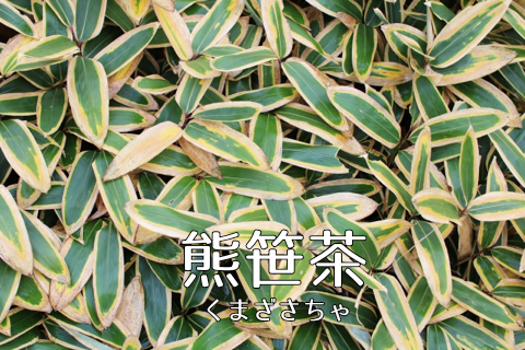 【優しい健康茶】熊笹茶(クマザサ茶)の効能や飲み方を紹介
